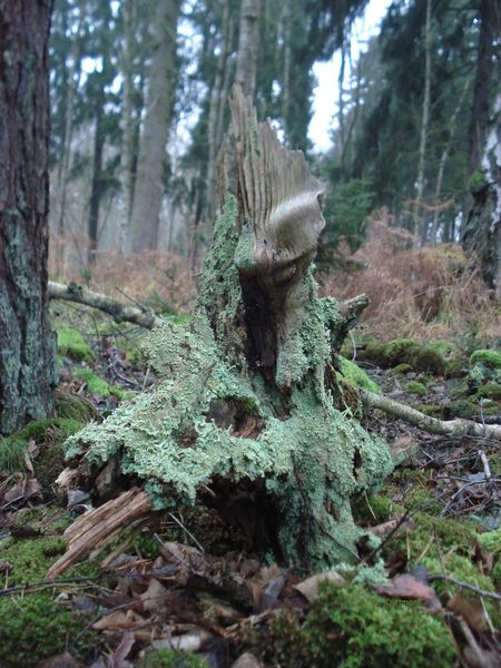 Baumstumpf Forest Walk Waldspaziergang Beauty In Nature Forest Green Color Moss Nature No People Old Wood Wall Outdoors Rot Verrotte
