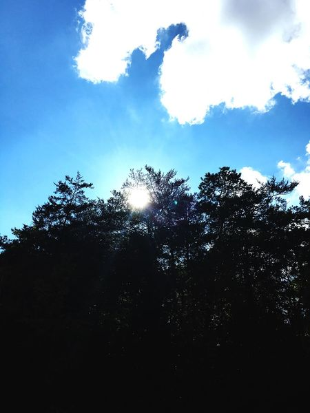 Pine Tree Low Angle View Sun Silhouette Growth Sky Sunlight Outline Blue Beauty In Nature Nature Scenics High Section Day Sunbeam Tranquil Scene Outdoors Dark Back Lit