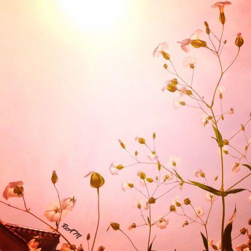 春日 ピンク 花 シルエット Flower Growth Petal Fragility Nature Freshness Flower Head Blossom Botany Pink Color Branch No People Plant Springtime Blooming Low Angle View Sky Outdoors Leaf