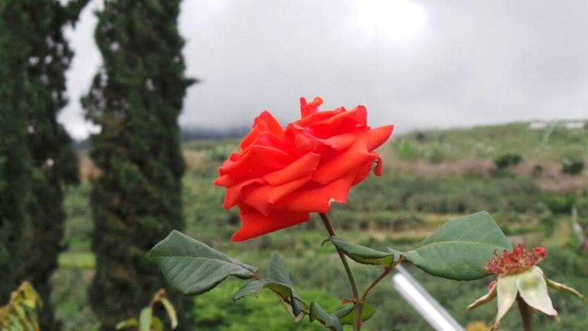 #flower#garden#nature#ecuador#santodomingoecuador#eyeEmfollowers#iphoneonly#nofiltrer#macro_garden#pretty#beautiful#followme#sho