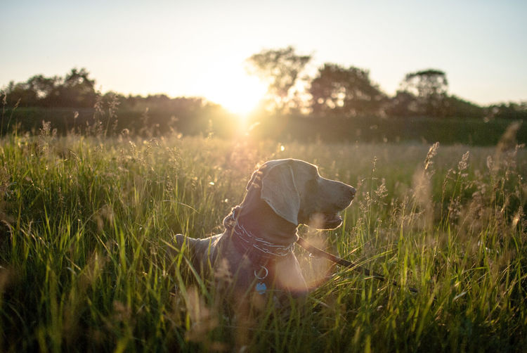 Close-Up Of Dog On Grassy Field During Sunset