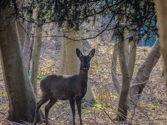 Colour Or Black And White Wild Animal Deer Doe Looking At Camera Colour Animals Animals In The Wild EyeEm Masterclass EyeEm Best Shots Wildlife Wildlife Photography EyeEm Nature Lover Nature Photography Nature_collection Woods Trees EyeEm Gallery