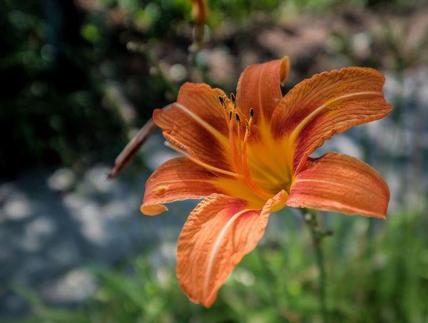 Flower... Flower Orange Color Beauty In Nature Flower Head Day Lily Nature Bulgaria Pomorie Day City City Life Travel Fujifilm X-t20 Fujifilm_xseries Fujifilmru