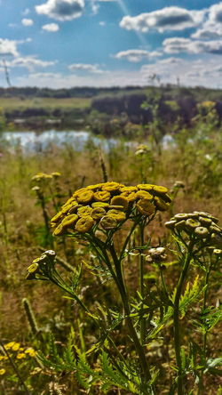 Nature Plant Outdoors Day No People Landscape Flower Tansy Yellow Grass Wild Flowers Summer