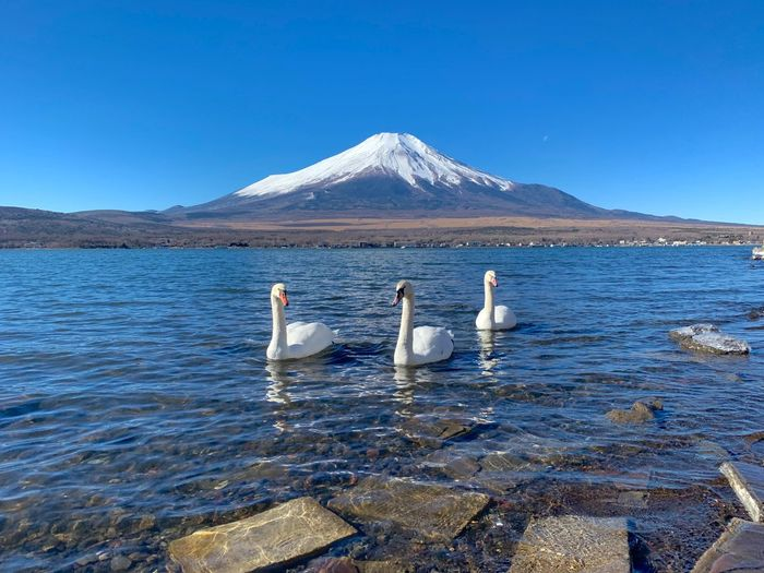 The group Swan swimming at Yamanakko Lake with Mt fuji background in the morning.. Japan Mt Fuji, Japan Water Animal Animals In The Wild Sky Group Of Animals Nature Clear Sky Blue Beauty In Nature