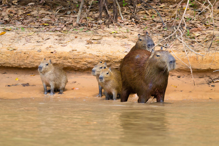 Family of capibara, Pantanal, Brazil Animal Animal Themes Group Of Animals Animal Wildlife Animals In The Wild Mammal Vertebrate No People Day Nature Land Brown Young Animal Outdoors Field Animal Family Herd Capibara Rodent Biggest Pantanal Brazil Wetland Animals In The Wild Wildlife