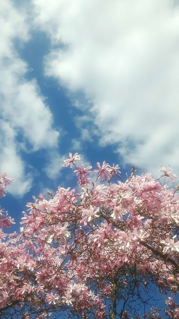 Celebration Sky No People Outdoors Low Angle View Beauty In Nature Nature Cloud - Sky Day Tree Natural Phenomenon Tranquility Celebration Blossom Magnolia Blossom Magnolienknospe Flower Garland Magnolia Loebneri Close-up Magnolia Tree Branch Flower Head Magnolias Blooming Fragility Freshness