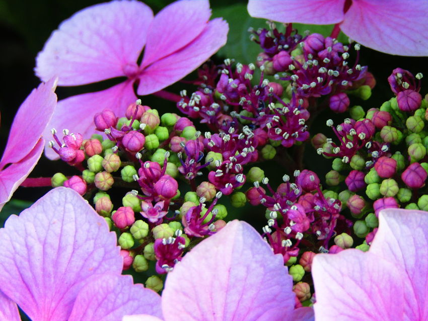 Close Up Photography Light And Dark Spaces Nature On Your Doorstep Nature Pink Flower New Buds Hydrangea In Bloom