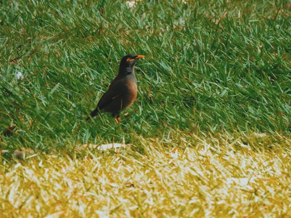 Animal Themes Animals In The Wild Bird Bird Photography Bird Watching Birds Birds Of EyeEm  Birds_collection Birds_n_branches Birdwatching Field Full Length Grass Green Color Myna Nature No People One Animal Perching Selective Focus Side View Wildlife Zoology