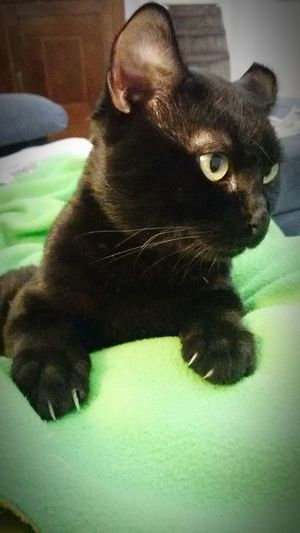 Gattonero Cat Watching Cat Eyes Feline Eyes Black Cat