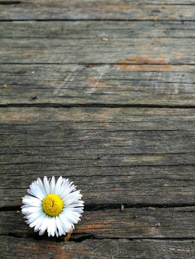 Close-up of white daisy flower on table
