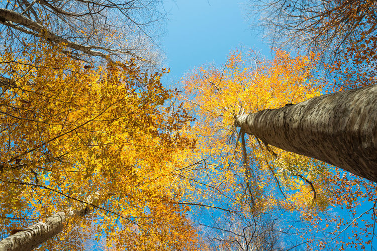 Low angle view of autumn trees against clear blue sky