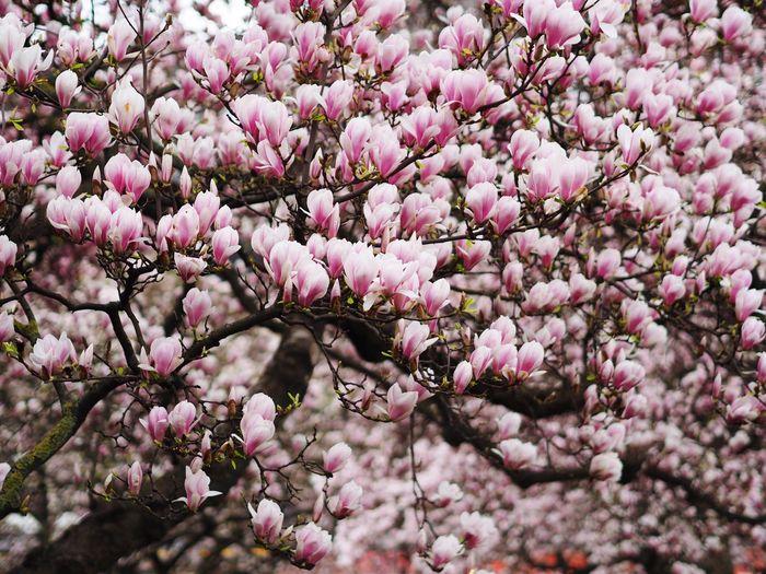 Pink flowers on tree in bloom