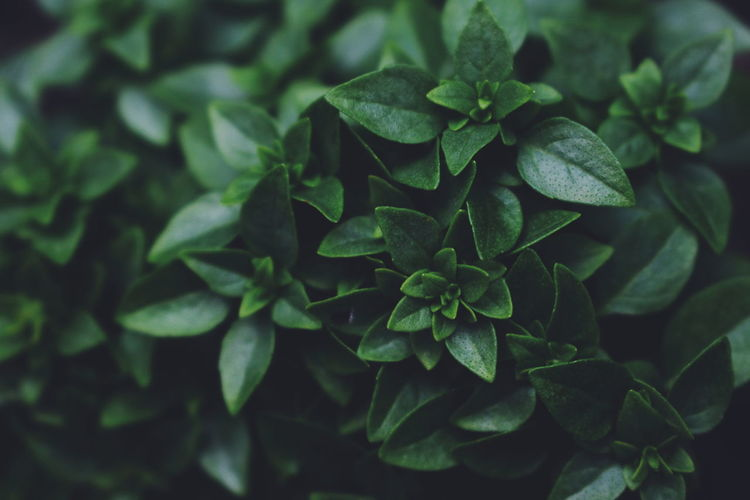 Basil Latvia Plant Backgrounds Beauty In Nature Close-up Day Directly Above Focus On Foreground Food Freshness Full Frame Green Color Growth High Angle View Leaf Leaves Nature No People Outdoors Pattern Plant Plant Part Selective Focus