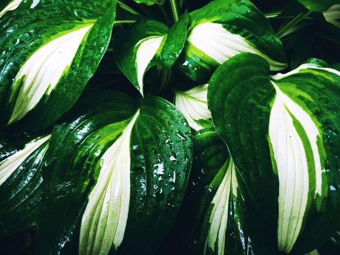 Leaf Full Frame