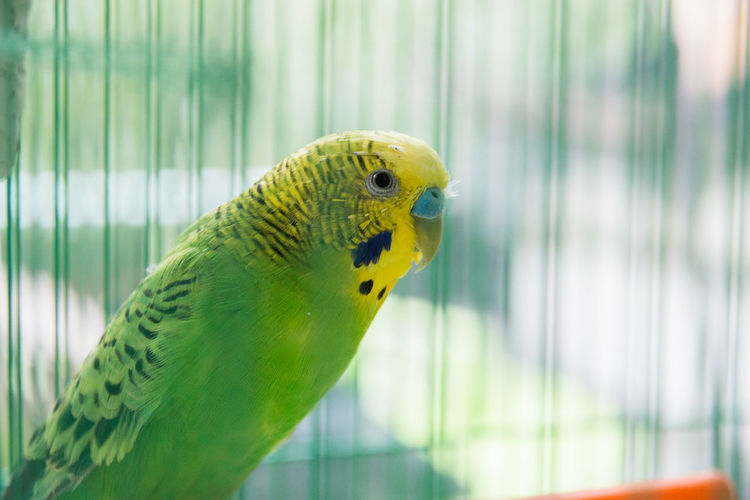 Wavy parrot in a cage Vertebrate Animal Themes Animal Bird Parrot One Animal Animal Wildlife Parakeet Budgerigar Cage Animals In The Wild Close-up Birdcage Focus On Foreground Green Color Animals In Captivity Yellow Day No People Outdoors