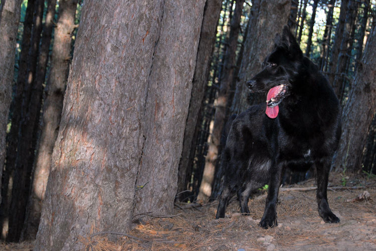 Black dog in a forest