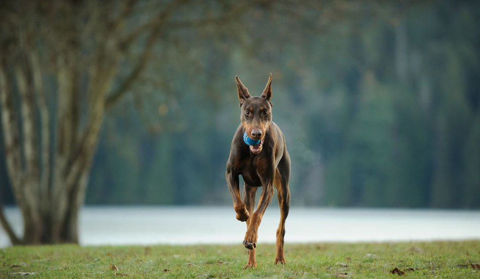 Red Doberman PInscher dog Dogs Red Animal Themes Cropped Ears Day Dog Domestic Animals Field Focus On Foreground Grass Mammal Nature No People One Animal Outdoors Purebred Running Tan