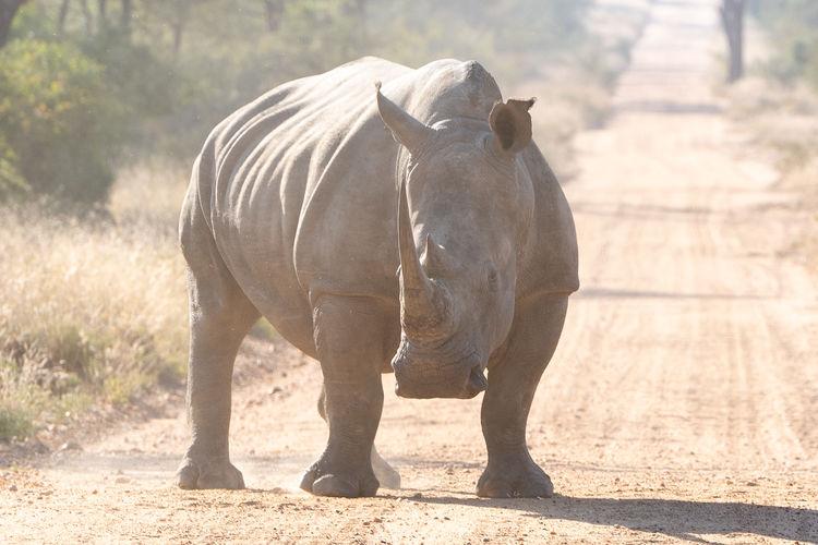 Rhinoceros walking on dirt road