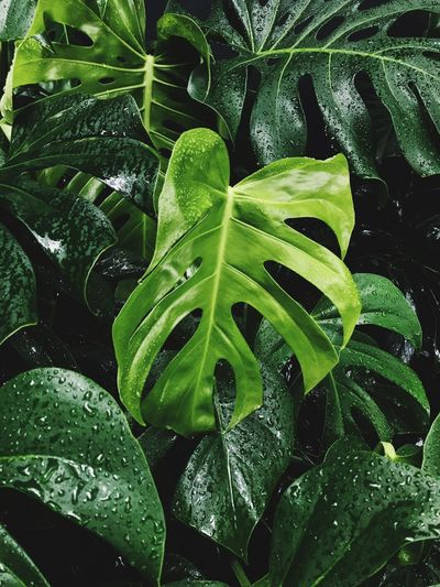 Rainy Days Costela De Adão Leaf Green Color Growth Plant Nature Freshness Drop Outdoors No People
