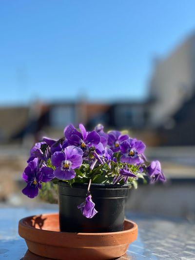 Close-up of purple flower pot