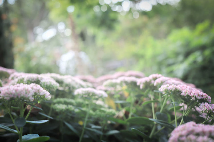 Beauty In Nature Close-up Day Defocused Field Flower Flowering Plant Focus On Foreground Fragility Framed Vision Freshness Green Color Growth Land Nature No People Orpine Orpines Outdoors Pink Flowers Plant Selective Focus Tranquility Tree Vulnerability