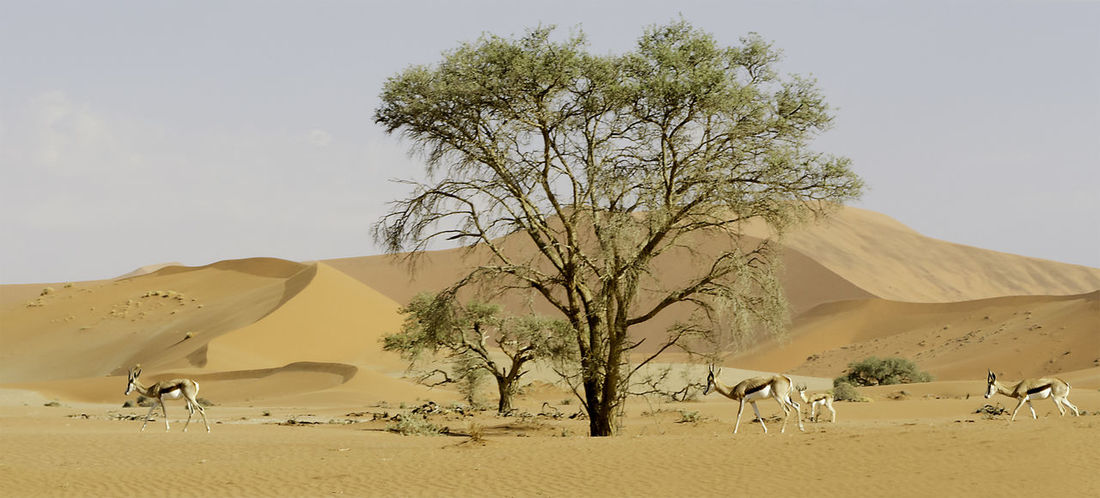 Animal Themes Arid Climate Beauty In Nature Camel Thorn Tree Clear Sky Day Desert Gazelles Herbivores Landscape Mammal Nature No People Outdoors Prey Animal Sand Sand Dune Scenics Sky Springboks Tranquil Scene Tree