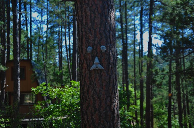 Live For The Story this tree that never stops smiling in a dying little town, proves happiness will prevail. Tree Trunk Pinaceae Tree Forest Nature Pine Tree WoodLand Growth Day No People Outdoors Wood - Material Social Issues Tranquility Lush - Description Forest Fire Beauty In Nature Sky Miner Town Arizona Crown King Tree Nature