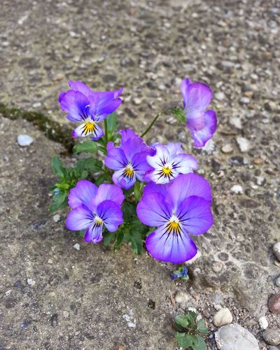Life finds a way Lifefindsaway Beton Flower On The Ground Flower Head Crocus Flower Petal Purple High Angle View Close-up Plant Blooming Cosmos Flower In Bloom Stamen Purple Color Plant Life Botany