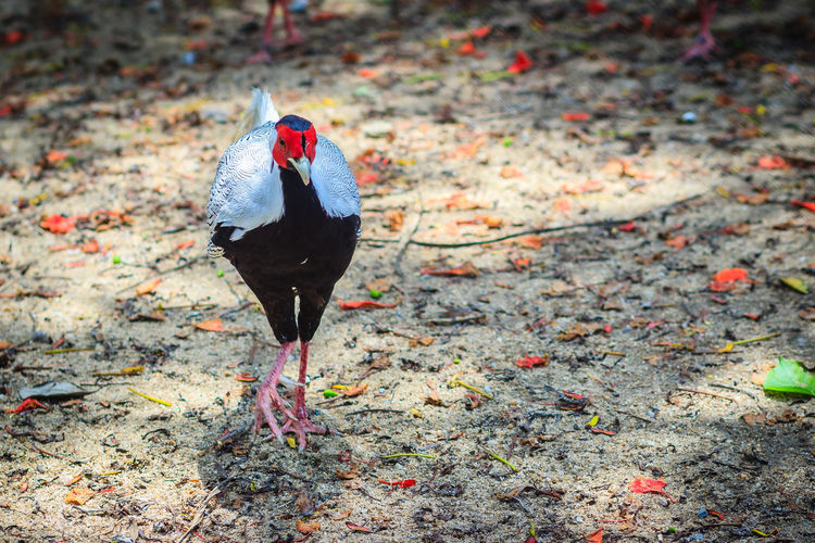 Young male of the Silver Pheasant (Lophura nycthemera) Lophura Nycthemera Pheasant Pheasant Feathers Male Animal Pheasant Season Pheasants Silver Pheasant Young Animal