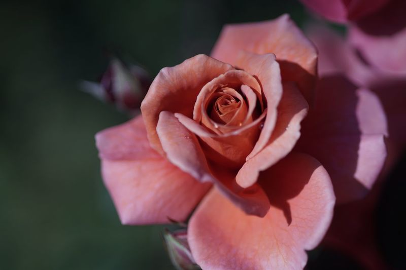 Transience Sadness Brown Roses Brown Flower Roses Beauty In Nature Micronikkor Micronikkor105mmf2.8 105mm SONY A7ii Yokohama Yokohama English Garden Masako201711