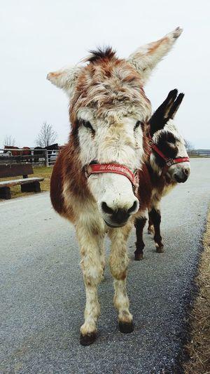 Donkeys going