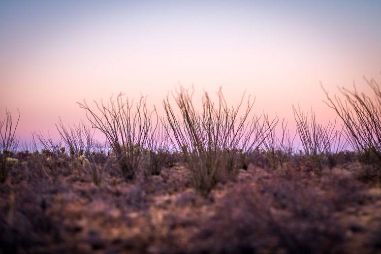 Ocotillo cacti Arizona desert landscape Arizona Cacti Cactus Cactus Garden Nature Pink Blurry Desert Landscape Landscape Ocotillo Ocotillo Cactus Pink Color Pink Sunset Selective Focus Sunset