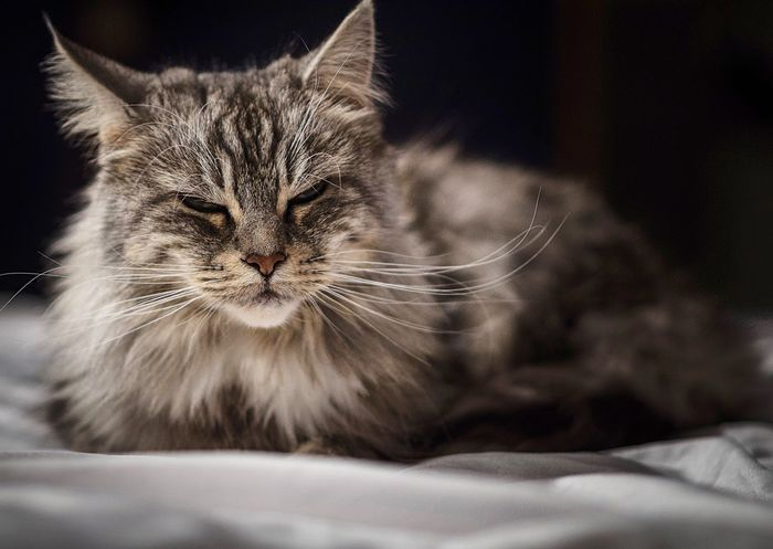 Do not Domestic Cat Domestic Animals Relaxation Bed Pets Mammal Animal Themes One Animal Indoors  Close-up Bedroom No People Day Pet Cat Maine Coon Mainecoon Kitty Majestic White Relaxing Relax Posing