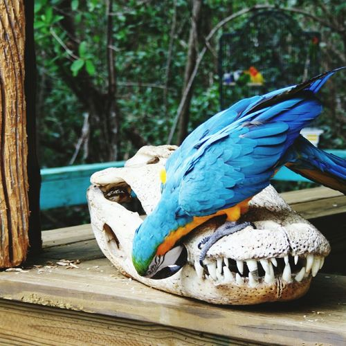 Close-up of gold and blue macaw on animal skull