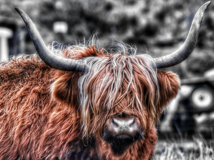 Highland Cow Malephotographerofthemonth Wildlife & Nature Scotland Selective Colour Close-up Livestock Domestic Cattle Cattle Cow Bull Farm Animal Highland Cattle