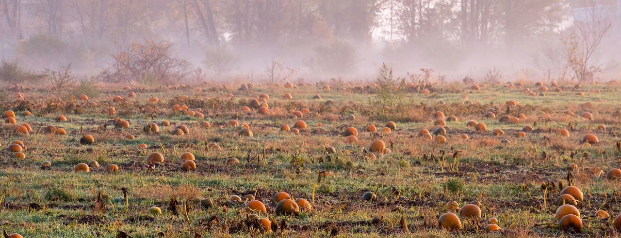 Panorama of a misty pumpkin field on a foggy fall day in autumn