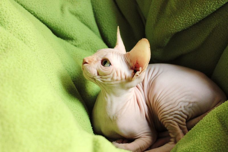 Close-up of sphynx cat sitting on bed