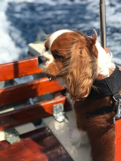 Julian Cavalier on a boat Head Shot  Sitting On A Boat  Sitting On A Boat  From A Boat Blenheim Sea Day Mode Of Transportation Mammal Cavalier King Charles Spaniel One Animal Animal Themes Dog Canine Animal Mammal Pets Domestic Animals Vertebrate Focus On Foreground Day Brown No People Animal Head  Outdoors Sunlight Looking Away Looking