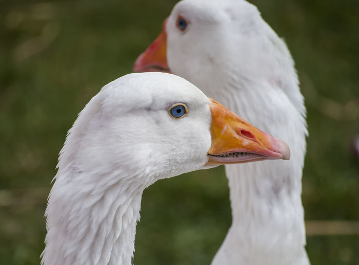 Close-up of geese