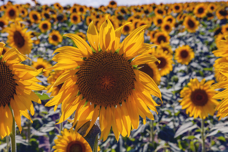 Flower Flowering Plant Yellow Fragility Freshness Vulnerability  Plant Flower Head Growth Petal Beauty In Nature Close-up Inflorescence Sunflower Pollen Nature No People Day Focus On Foreground Land Outdoors Softness Flowerbed