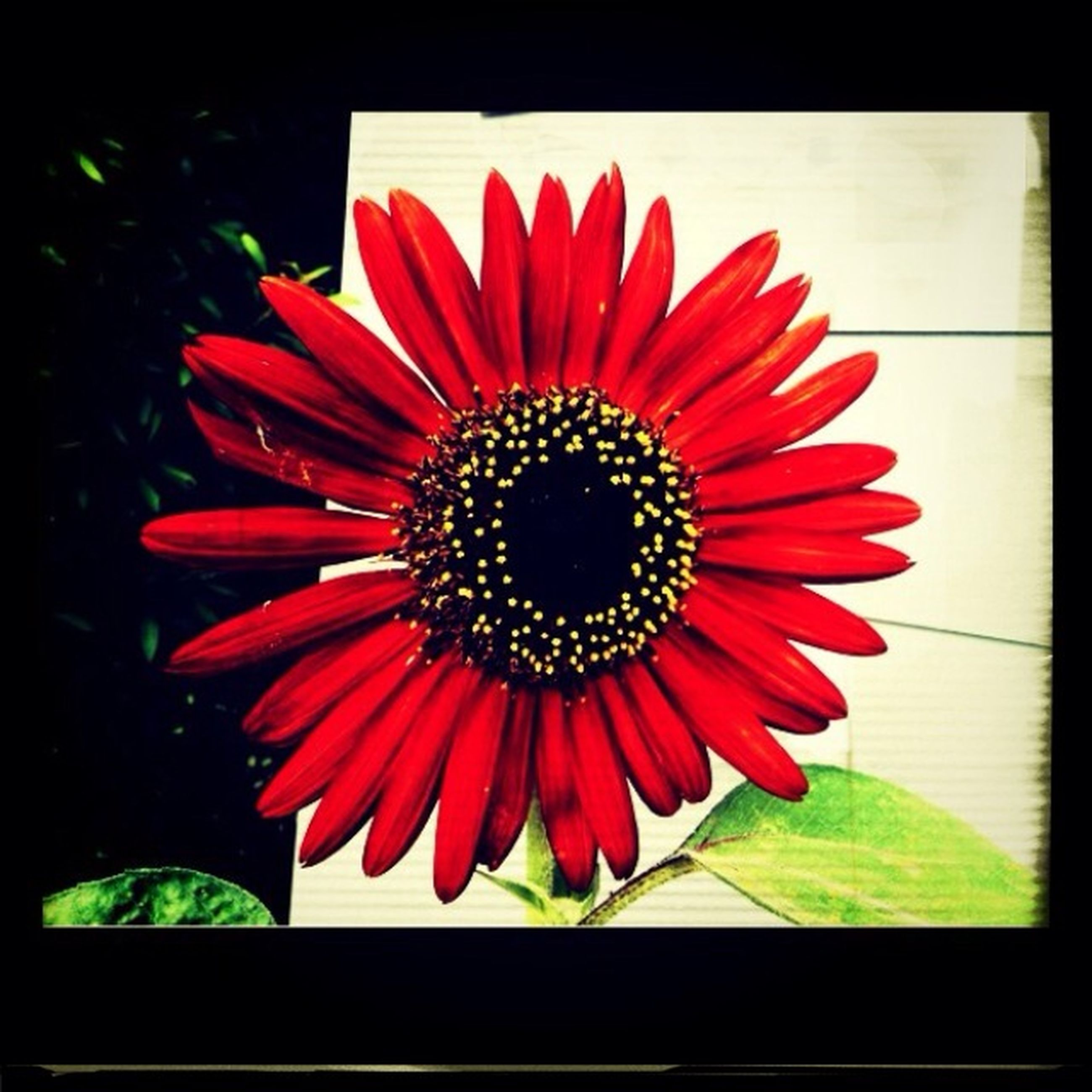 flower, petal, transfer print, flower head, freshness, red, fragility, auto post production filter, growth, pollen, beauty in nature, close-up, plant, blooming, single flower, nature, indoors, no people, leaf, in bloom