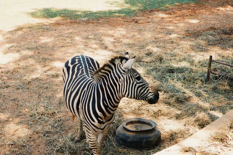 Animal Themes Animal Animals In The Wild Striped Animal Wildlife Mammal Zebra Nature Vertebrate Grass No People Field Land Safari Day One Animal Plant Outdoors Herbivorous Arid Climate