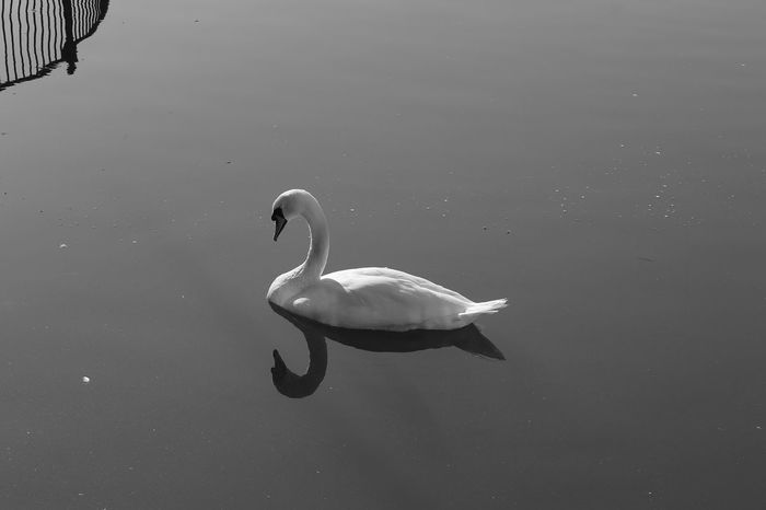 Animal Animal Neck Animal Themes Animal Wildlife Animals In The Wild Bird Canada Water Day Early Morning Floating On Water Lake Nature No People One Animal Outdoors Reflection Swan Swimming Vertebrate Water Water Bird Waterfront White Color Zoology