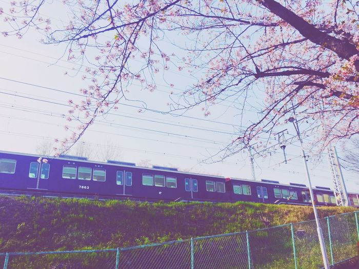 阪急電車と桜 Cherry Blossoms Japanese Flower 阪急電車と桜 阪急電車 Nature Plant Sky No People Day Outdoors Tree
