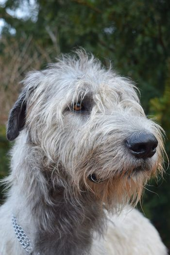 One Animal Animal Themes Dog Showcase February 2017 February 2017 Winter 2017 Dogs Of EyeEm Irish Wolfhound Cearnaigh Dogslife Take A Walk In The Park Dogs Of Winter Petscorner Close-up From My Point Of View Dog Of The Day Portrait Looking At Camera