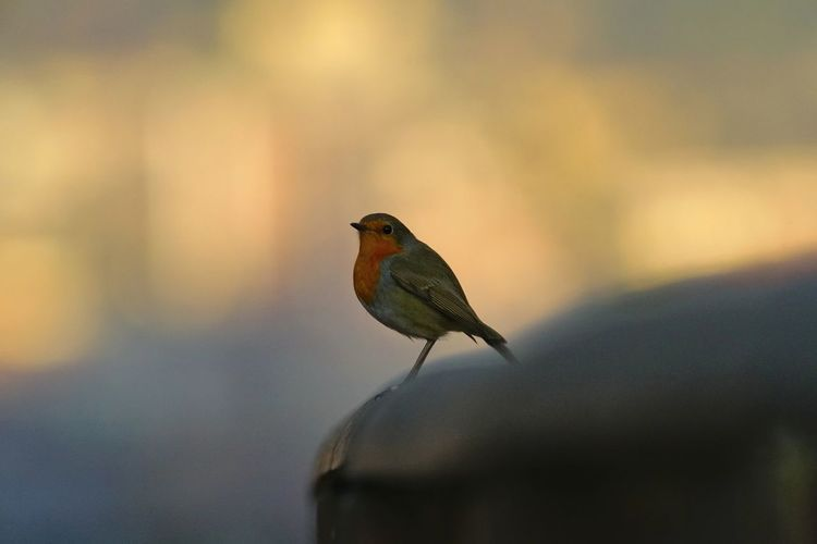 Animal Wildlife Animals In The Wild Bird One Animal Animal Themes No People Day Focus On Foreground Beauty In Nature Close-up Nature Sony A7r2 A7r2 Tamron150600mm Tamron 1.4x Lucariva Robin Redbreast Birds🐦⛅ Bird Photography