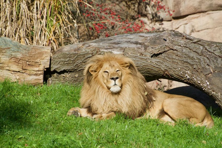 Animals In The Wild Animal Animal Photography Animal Themes Animal Wildlife Animals Animals In Captivity Animals In The Wild Carnivora Cat Day Feline Grass Lion - Feline Male Animal Mammal Nature No People One Animal Outdoors Plant Relaxation Undomesticated Cat Vertebrate