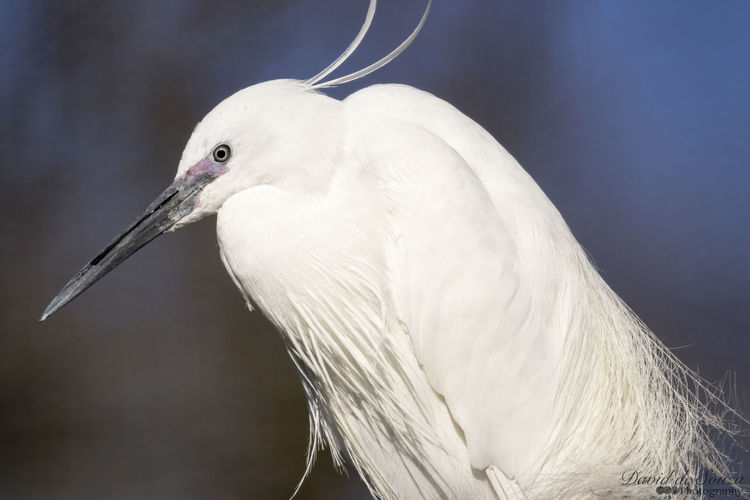 #snowyegret Animal Themes Animal Wildlife Animals In The Wild Beak Beauty In Nature Bird Close-up Day Nature No People One Animal Outdoors White Color