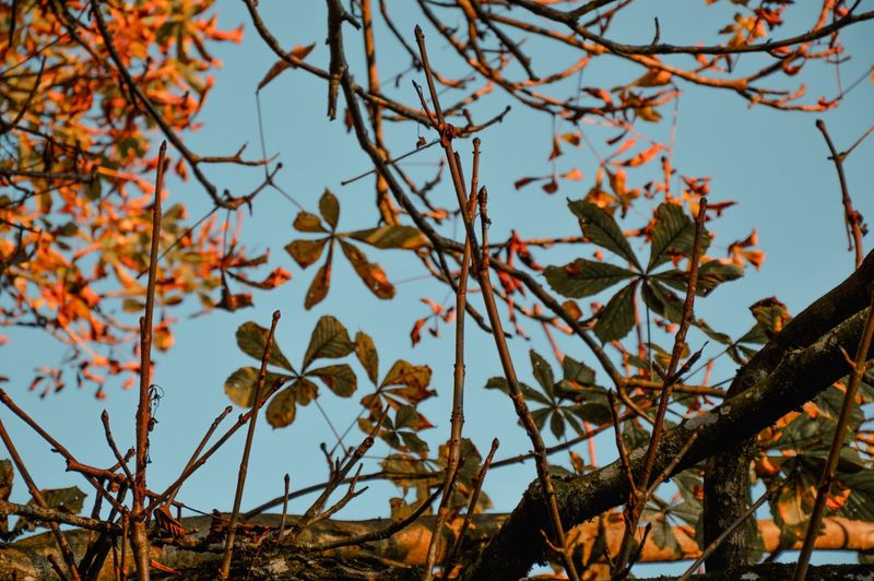 Autumn/Herbst Autumncolors Plant Tree Branch Nature Sky No People Beauty In Nature Autumn Growth Day Low Angle View Focus On Foreground Leaf Outdoors Close-up Orange Color